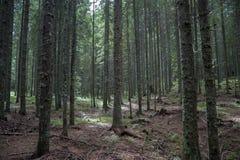 Skog som täckas med mossa Fotografering för Bildbyråer