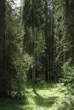 skog thick royaltyfri bild