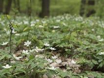 Skoganemon, vit blomma Vårlandskap med variabelt ljus Royaltyfria Foton