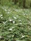Skoganemon, vit blomma Vårlandskap med variabelt ljus Arkivfoto