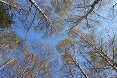 Skogar av vita björkar Royaltyfri Fotografi