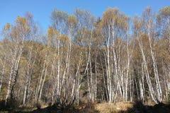 Skogar av vita björkar Arkivbild