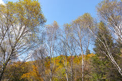 Skogar av vita björkar Royaltyfri Bild