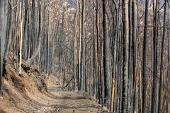 Skogar för världsarv av madeiran brände ned hemskt i 2016 Några av träd har jättelik will av liv och fortlevde detta Royaltyfri Fotografi