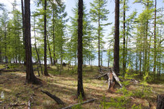 Skogar framme av Khovsgol sjön arkivfoton