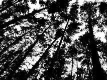 Skogbakgrund med högväxt sörjer träd, svartvitt färgpulver Fotografering för Bildbyråer