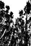 Skogbakgrund med högväxt sörjer träd, svartvitt färgpulver Royaltyfri Bild