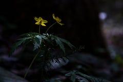Skogblommor i den tidiga våren Fotografering för Bildbyråer