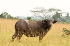 SkogbuffelConkouati-Douli nationalpark, Kongofloden Royaltyfria Foton