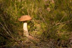 skogchampinjon Royaltyfri Foto