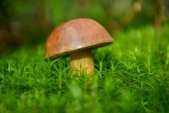 Skogchampinjon i den gröna mossan Fotografering för Bildbyråer