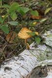 Skogchampinjonen är okända som är oätliga och som mycket är härliga royaltyfri illustrationer