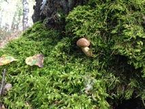 Skogchampinjonen växer på en mossa Arkivfoto