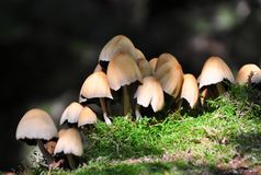 skogchampinjoner Royaltyfri Bild