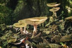 Skogchampinjoner stänger sig upp Arkivbilder