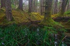 Skogdamm med dentillväxt cederträ och granen Arkivfoton