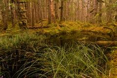 Skogdamm med dentillväxt cederträ och granen Arkivbild