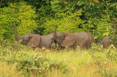Skogelefant & x28; Loxodontacyclotis& x29; i Kongofloden Conkouati reserv royaltyfria foton