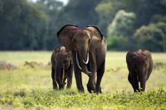 Skogelefanter royaltyfri foto