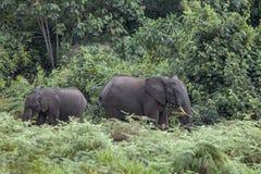 Skogelefanter i Kenya Arkivbild