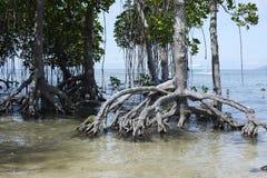 Skogen av mangroveträdet rotar växer på den vita sandstranden Arkivbild