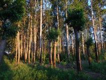 Skogen av sörjer mycket träd Arkivfoton