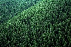 Skogen av sörjer träd Arkivfoto