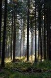 Skogen av sörjer träd som är upplysta vid solstrålar Arkivfoto