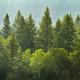Skogen av sörjer träd i regn Arkivfoton