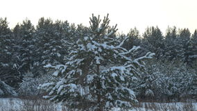 Skogen för vinterskogvintern med täckte träd snöar Julgranar i vinterskogslut upp arkivfilmer