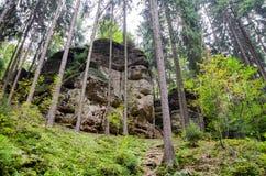 Skogen med högväxt sörjer Fotografering för Bildbyråer