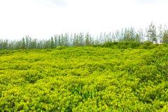 Skogen med sörjer bakgrund Royaltyfria Foton