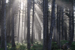 skogen rays sunen Arkivfoto