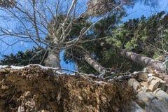Skogen, Ryssland som är månghundraårig sörjer träd, gränslös himmel, vys, rotar, hur kunde övervintrar ett träd växa här? Royaltyfria Foton