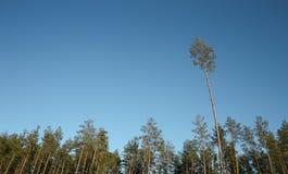 Skogen sörjer träd med tom blå himmel Royaltyfria Foton