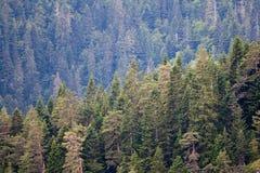 skogen sörjer treen royaltyfri bild
