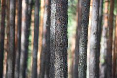 skogen sörjer treen Royaltyfria Bilder