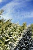 skogen sörjer treen Royaltyfria Foton