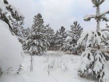 skogen sörjer trees Royaltyfri Bild