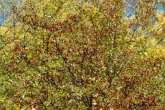 skogfrukter Arkivbilder