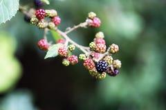 Skogfrukter Fotografering för Bildbyråer