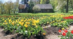 Skogglänta med den gula våren som blomstrar fina tulpan Royaltyfri Bild