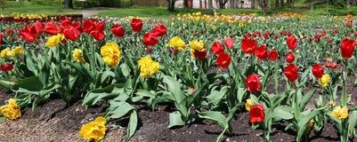 Skogglänta med våren som blomstrar fina tulpan nära abaen Fotografering för Bildbyråer