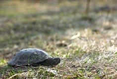 skoggläntasköldpadda Fotografering för Bildbyråer