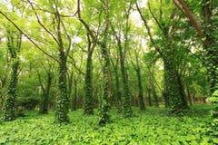 skoggreen Arkivfoto