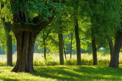 skoggreen Royaltyfri Foto