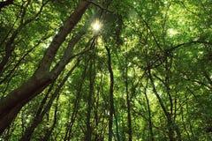 skoggreen Arkivfoton