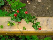 Skogjordgubbar på ett trästaket royaltyfri bild