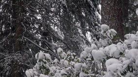 Skogkanten i staten Washington har snö som traver upp på den lager videofilmer