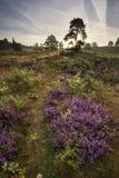 Skoglandskap med ljung på soluppgång Royaltyfri Foto